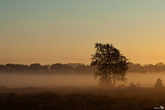 Misty Morning Sunrise (BraCom (Bram)) Tags: mist tree sunrise landscape mood boom explore heath hei veluwe landschap sfeer zonsopkomst bracom