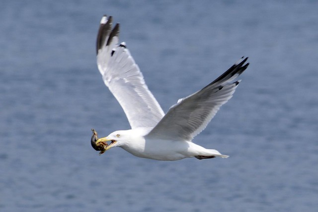 gull killing a conch