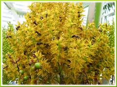 Dwarf honey bees (Apis florea) feasting on the flowers of Pritchardia pacifica (Fiji Fan Palm, Pacific Fan Palm) - Sept 20 2011