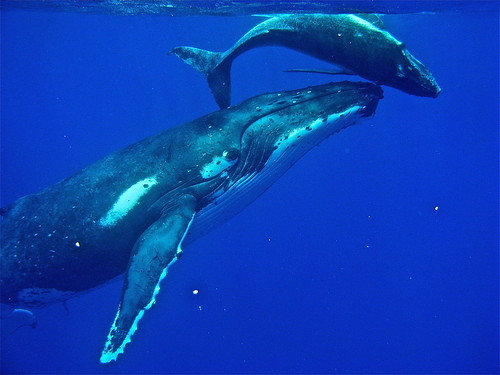 Baby humpback whales - photo#7