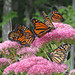 Monarchs forage for nectar on sedum flowers. Photo: Sarah Fink, Johnsburg, NY.