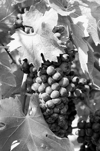 uva matura-ripe grapes