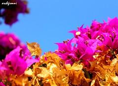 laggiù c'è il mare di taormina (archgionni) Tags: flowers sea italy yellow italia mare purple giallo sicily fiori sicilia