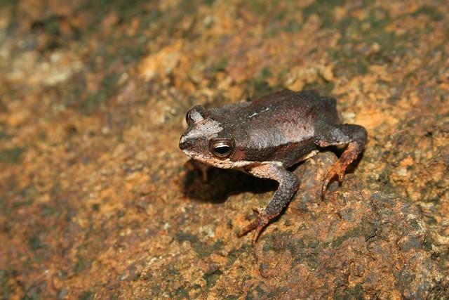 Cuban long-nosed toad (Peltophryne longinasus)--Ariel Rodriguez