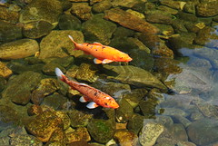 Koi Fish (mist-illusionist) Tags: world blue light orange fish reflection green love water rain rock japan silver japanese epcot pond rocks peace florida pair picture center spot clear spots yang serenity koi pocky spotted yin fishes swiming fishy fushes