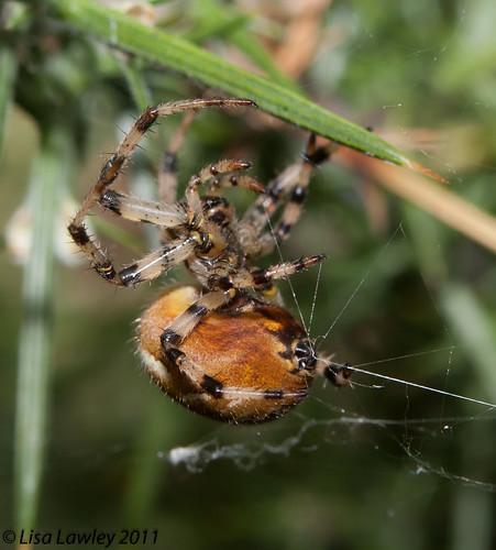 Four Spotted Orb Weaver Spider/Araneus quadratus. Female *Set of 4*