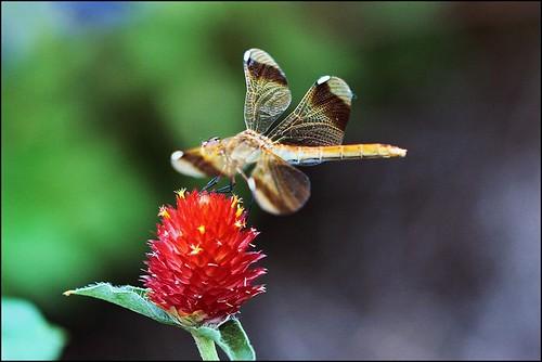 Dragonfly by T.takako