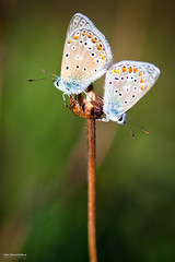 Recto-Verso (Marc Benslahdine) Tags: summer macro butterfly bokeh papillon lightroom canonef100mmf28macrousm marcopix canoneos5dmkii tripax ©marcbenslahdine wwwmarcopixcom wwwfacebookcommarcopix marcopixcom