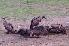 one man's death is another's bread (Ferdi's - World) Tags: africa bridge animal geotagged dead kenya vulture kenia ferdi masaimara gamedrive buffel djoser gier africanbuffalo ferdisworld nikkorafs7020028 nikond7000 keniaentanzaniareis2011 masaimaranationaalpark geo:lat=1613665 geo:lon=35342396