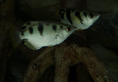 Banded archerfish, Toxotes jaculatrix by brian.gratwicke, on Flickr
