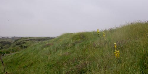 Sunday Drive 064 04 Parnassia seaward dunes