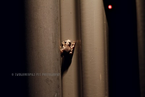 Baby frog, nocturnal, by twoguineapigs pet photography