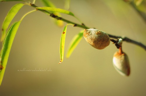 almendras arbol
