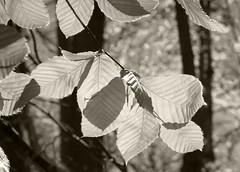 American Beech (sandy richard) Tags: usa newyork unitedstates wildwood calverton wildwoodstatepark newyorkstateparks sandyrichard sandrarichard