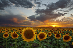 Sunflower Field - Hudson, Colorado (Lightvision []) Tags: travel light sunset summer vacation sky usa sun storm green nature beautiful field yellow clouds america sunrise canon landscape photography dawn photo spring stem colorado day image farm vibrant farming seasonal harvest grow meadow dramatic conservation denver fresh seeds growth soil aurora sunflowers co environment hudson 1740mm tranquil watkins mkii helianthusannuus lightvision willshieh