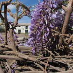 "Lilacs <a style=""margin-left:10px; font-size:0.8em;"" href=""http://www.flickr.com/photos/14315427@N00/6189499019/"" target=""_blank"">@flickr</a>"