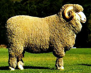 south african-sheep