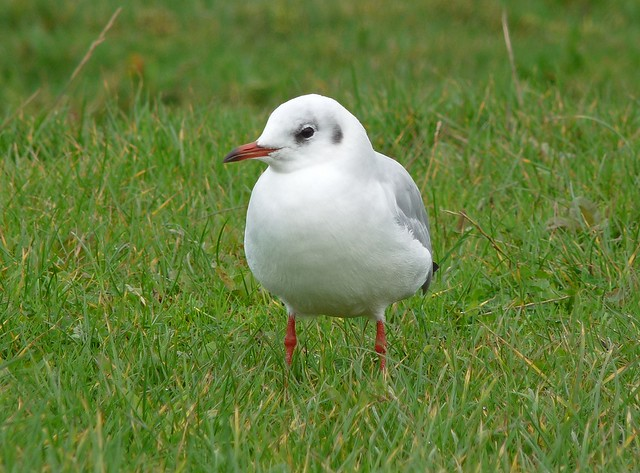 25068 - Black Headed Gull, Penclawdd