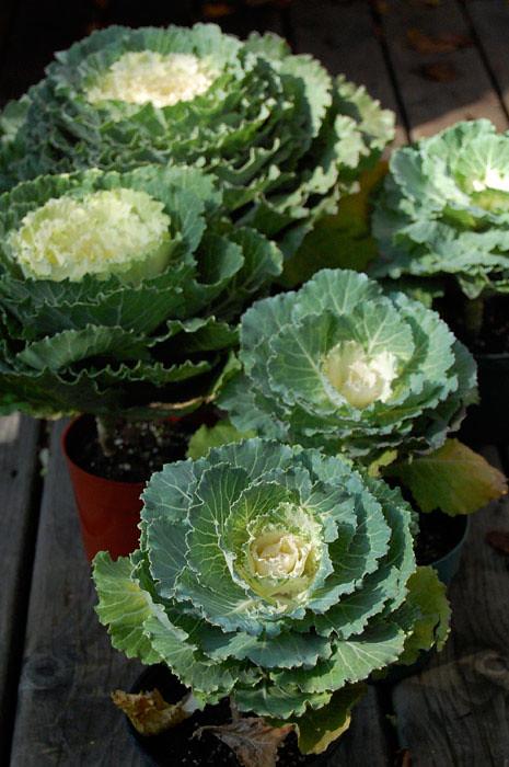 Fall Flower Arrangement Diyornamental Cabbage The Art Of Doing Stuff