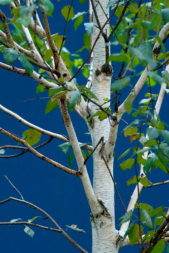 Birch in Blue