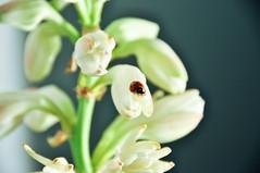 sorte (Dmourão) Tags: planta joaninha sorte
