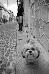 Chic Dog (G281) Tags: street travel blackandwhite bw dog blancoynegro miguel festival photo san streetphotography perro sanmigueldeallende streetphoto chic wwpw strettogs