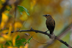 Rusty Blackbird DSC_2947