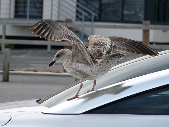 25118 - Herring Gull, Swansea