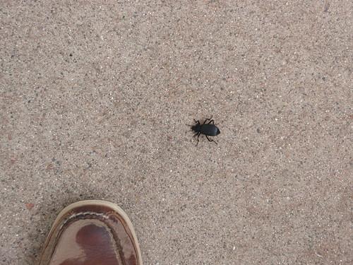 large beetle