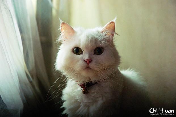 [Cat]叮叮。正經的無辜