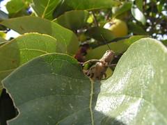 Me tiro por el tobogn? (esta_ahi) Tags: barcelona espaa insectos fauna spain orthoptera palosanto kaki peneds diospyros caki diospyroskaki ebenaceae  torrellesdefoix