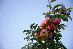 Erntedank (chipsmitmayo) Tags: sky tree fruit nikon harvest away delicious doctor land apples baum keeping obst altes saft jonagold pfel apfelernte 20kg d80 apfelhof
