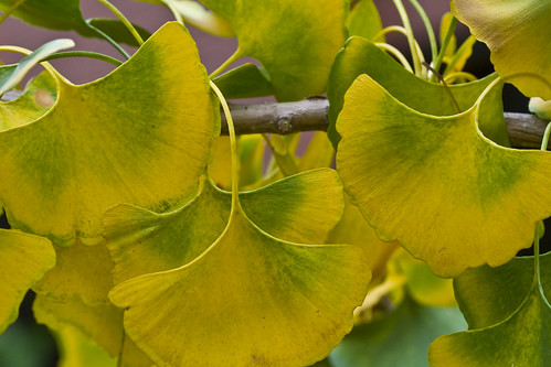 Ginkgo1 by pdecell