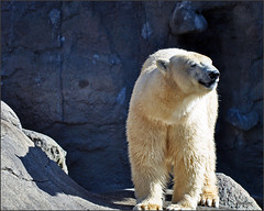 Polar Bear (gos1959) Tags: bear zoo aalborg gamewinner beautifulworldchallenges mygearandme pregamesweepwinner