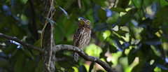 Philippine Boobook Ninox philippensis (Bram Demeulemeester - Birdguiding Philippines) Tags: ninoxphilippensis bramdemeulemeester birdguidingphilippines birdingtoursphilippines philippineboobook