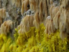 Hericium(?) in Slime (Thiophene_Guy) Tags: originalworks sp550uz stereoview stereogram 3d animatedstereo animatedgif wiggle wiggly jiggle jiggly motionparallax stereo parallax stereophotomaker animated gif audubonsanctuary millgrove mushroom mushrooms fungus fungi champignon ciupercă ciuperci キノコ 榎茸 マッシュルーム audubon pennsylvania pa saprobic macro dof bokeh yellow slime slimemold hericium coralloides physarium polycephalum physariumpolycephalum history amoebozoa wigglegram ぷるぷる プルプル3d プルプル