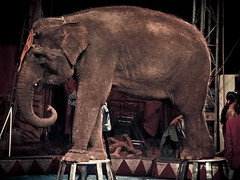 Elephant stone #2 (portable_soul) Tags: show wild elephant classic animal big crowd performance large tent trained sumatranelephant orientalcircusindonesia