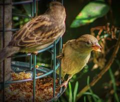 At The Feeder 5_tonemapped (aaron_eos_photography) Tags: autumn nature birds closeup canon garden september housesparrow hdr photomatix tonemapped photoscape