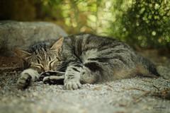 Dulce sueo (--- KORGAN ---) Tags: pet cat 35mm nikon dof gato felino tomas f18 martinez mascota dx d7000