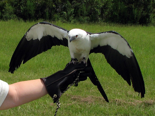 Scooter the Swallow-tailed Kite