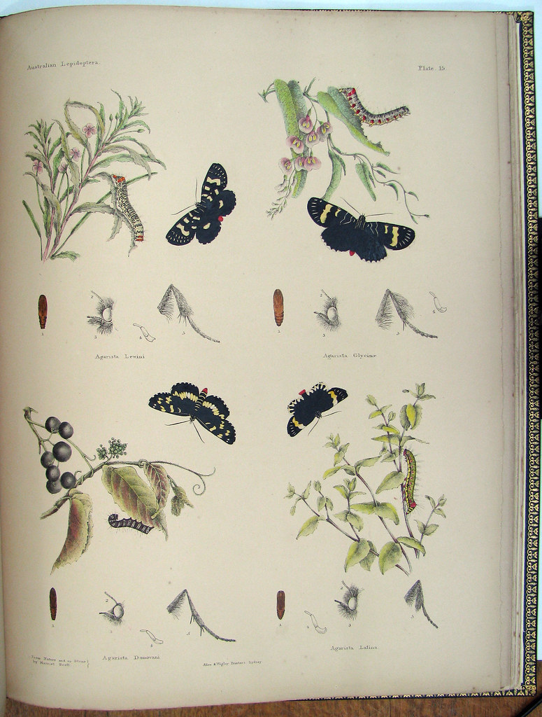 coloured book illustration of Australian butterflies