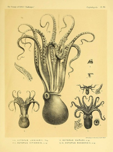 012-Report on the Cephalopoda collected by H. M. S. Challenger …1886- William Evans Hoyle.