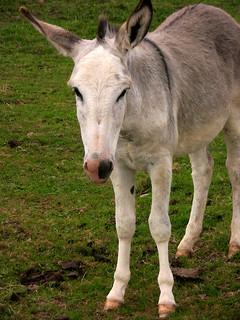 Dolomiten, Das Eselfohlen schaut schuldbewußt    - 205