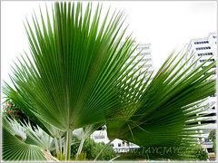 Enormous fan-shaped leaves of Pritchardia pacifica (Fiji Fan Palm), captured on Sept 20 2011