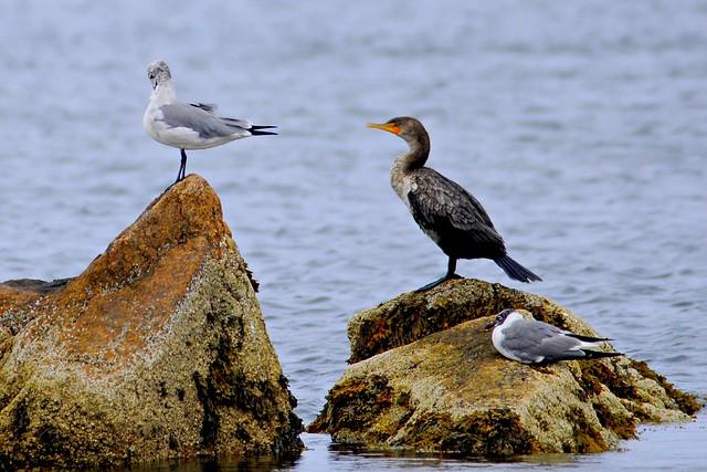 cormorant two 2011