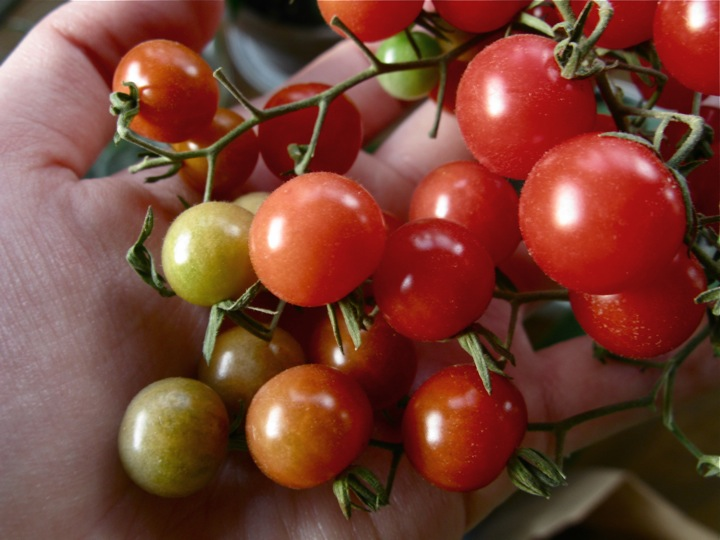 currant tomatoes 002