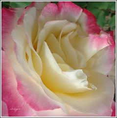 Only a Rose (Bluebird0927 (ON/OFF)) Tags: pink flowers friends nature beauty 1 niceshot happiness level sharing masterphotos citrit heartawards peaceawards natureselegantshots flickrsawesomeblossoms saariysqualitypictures mygearandme mygearandmepremium flickrsportal meirsgarden