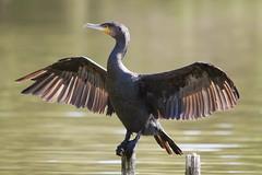 Cormorant drying wings (ripbon) Tags: cormorant southnorwoodcountrypark