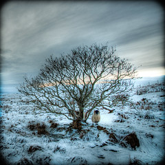 Bleak (Grim Git) Tags: winter tree lens scotland nikon shot sheep sunday single bleak nikkor moor westernisles mid hdr afs isleoflewis moorland lightroom sliders outerhebrides hss photomatix tonemapped tonemapping grimshader phdr fhdr d5000 1685mm