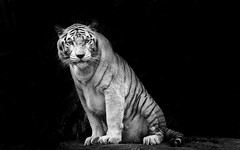 DSC_0975-2 B&W (Jas Mahal) Tags: nature animal cat nikon singapore tiger bigcat whitetiger nikon70300mm nikond5000 ronin237